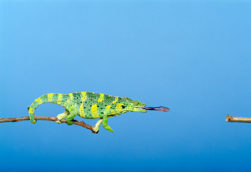 REP 04 TK0018 01 © Kimball Stock Meller's Chameleon Climbing On Branch