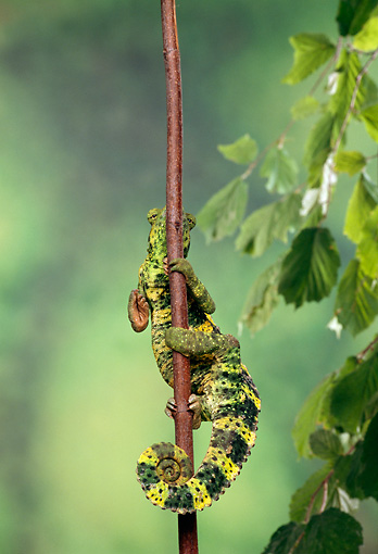 REP 04 TK0021 01 © Kimball Stock Meller's Chameleon Climbing On Branch
