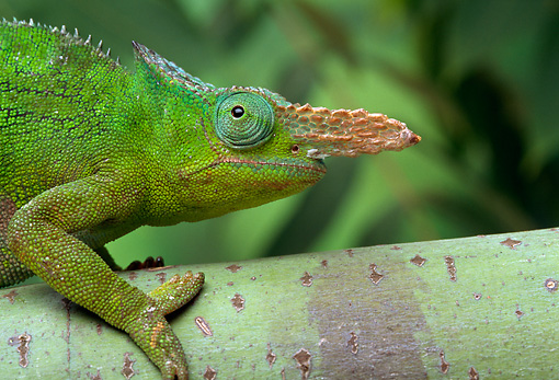 REP 04 TK0022 01 © Kimball Stock Close-Up Of Fischer's Chameleon Climbing On Branch