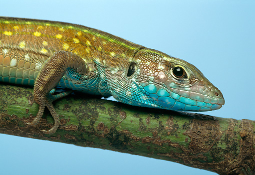 REP 04 TK0024 01 © Kimball Stock Rainbow Whiptail Laying On Branch