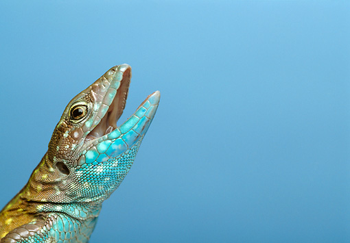 REP 04 TK0025 01 © Kimball Stock Close-Up Of Rainbow Whiptail Opening Mouth