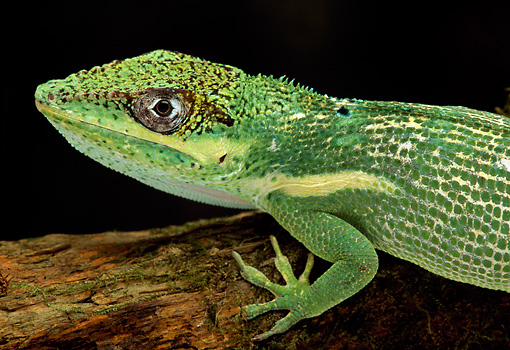 REP 04 TK0026 01 © Kimball Stock Close-Up Of Knight Anole Sitting On Branch