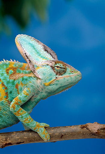 REP 04 TK0028 01 © Kimball Stock Close-Up Profile Of Veiled Chameleon Male Climbing On Branch