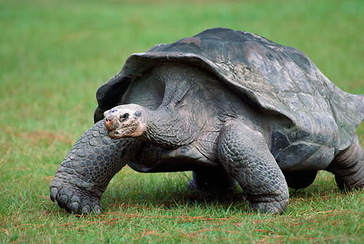 REP 06 GR0002 01 © Kimball Stock Close-Up Of Aldabra Giant Tortoise Walking On Grass