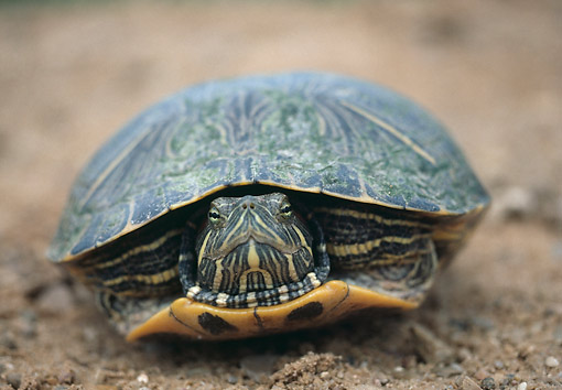 REP 06 GR0003 01 © Kimball Stock Western Painted Turtle In Dirt