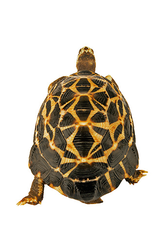REP 06 MH0003 01 © Kimball Stock Rear View Of Spider Tortoise Walking On White Seamless