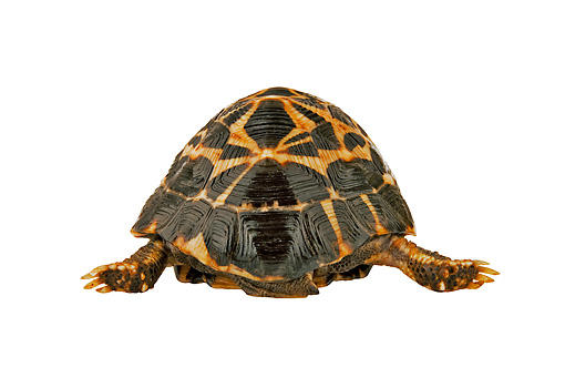 REP 06 MH0004 01 © Kimball Stock Rear View Of Spider Tortoise Walking On White Seamless