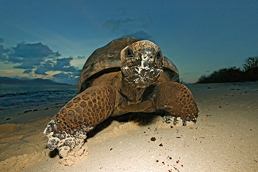 REP 06 MH0005 01 © Kimball Stock Aldabra Giant Tortoise Standing On Beach