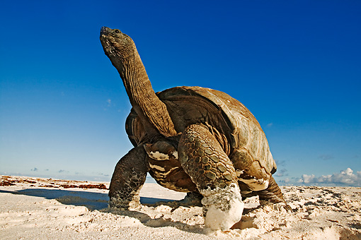 REP 06 MH0007 01 © Kimball Stock Aldabra Giant Tortoise Standing On Beach