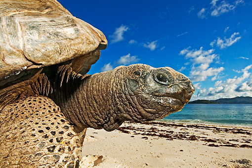 REP 06 MH0008 01 © Kimball Stock Aldabra Giant Tortoise Standing On Beach