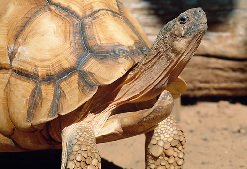 REP 06 MH0009 01 © Kimball Stock Close-Up Of Angulated Tortoise Standing On Dirt Madagascar