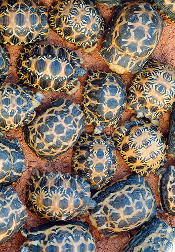 REP 06 MH0010 01 © Kimball Stock Overhead View Of Radiated Tortoise Hatchlings On Sand Madagascar