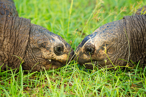 REP 06 MH0011 01 © Kimball Stock Close-Up Of Two Aldabra Giant Tortoises Nose-To-Nose On Grass In Seychelles