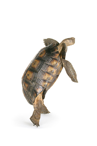 REP 06 RK0006 01 © Kimball Stock Desert Tortoise On Hind Legs White Seamless