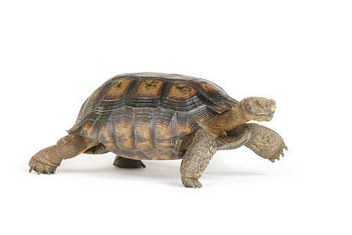 REP 06 RK0007 01 © Kimball Stock Desert Tortoise Profile On White Seamless