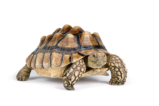 REP 06 RK0008 01 © Kimball Stock Sulcata Tortoise On White Seamless