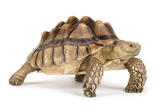 REP 06 RK0008 02 © Kimball Stock Sulcata Tortoise On White Seamless