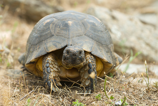 REP 06 WF0001 01 © Kimball Stock Marginated Tortoise Sitting On Dirt
