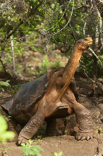 REP 06 WF0002 01 © Kimball Stock Galapagos Giant Tortoise Standing On Jungle Floor