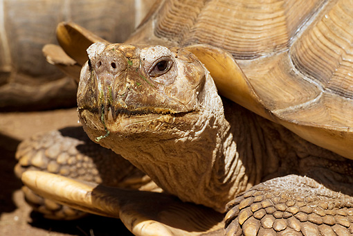 REP 06 WF0004 01 © Kimball Stock Close-Up Of African Spur-Thighed Tortoise
