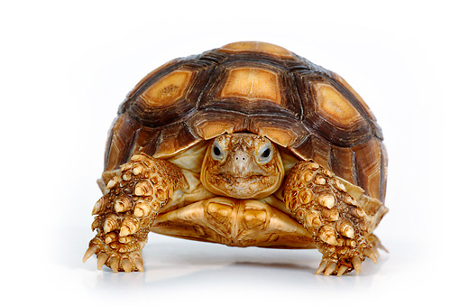 REP 06 KH0001 01 © Kimball Stock African Spurred Tortoise Standing On White Seamless