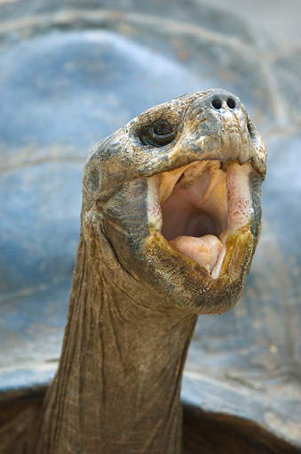 REP 06 NE0002 01 © Kimball Stock Head Shot Of Galapagos Giant Tortoise Yawning Galapagos Islands