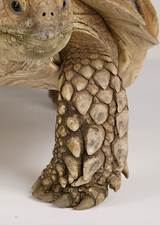 REP 06 RK0009 01 © Kimball Stock Sulcata Tortoise Close Up Of Leg