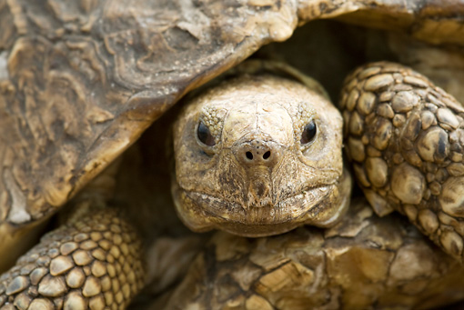 REP 06 RW0002 01 © Kimball Stock Close Up Of Leopard Tortoise Kenya
