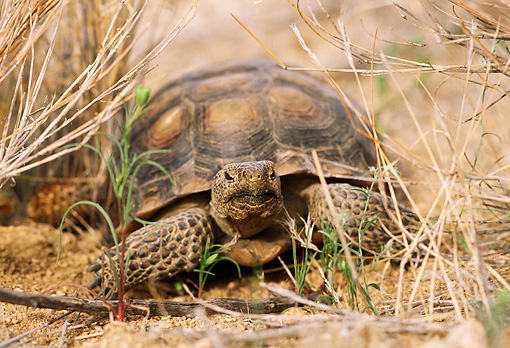 REP 06 TL0001 01 © Kimball Stock Head On Shot Of Desert Tortoise Laying In Scrub