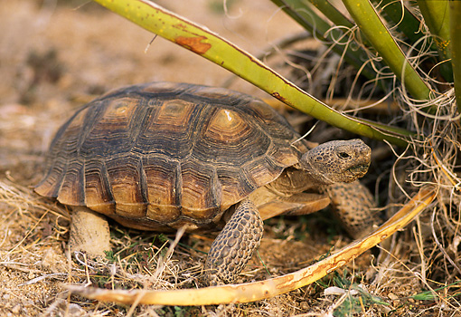 REP 06 TL0002 01 © Kimball Stock Profile Of Desert Tortoise Walking Under Bush