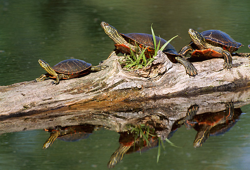 REP 06 TL0003 01 © Kimball Stock Three Western Painted Turtles Sunning Themselves On A Half-Submerged Log