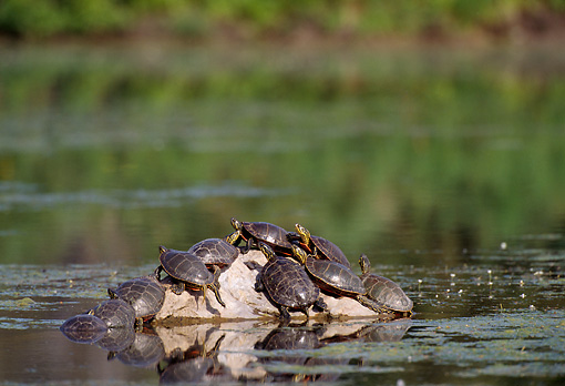 REP 06 TL0004 01 © Kimball Stock Group Of Western Painted Turtles Sunning Themselves On A Rock In A Pond