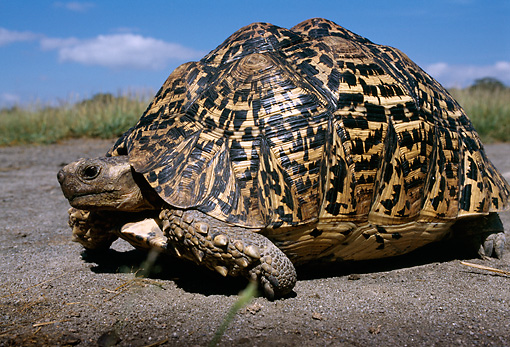 REP 06 TL0005 01 © Kimball Stock Profile Of Leopard Tortoise Crawling On Dirt In Field Grass Blue Sky CLoud Africa