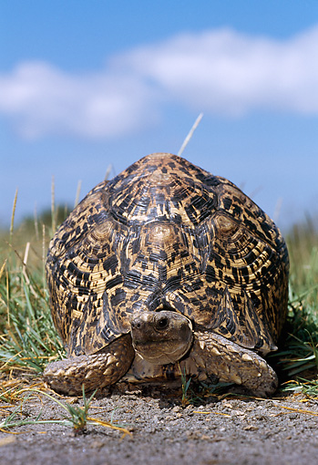 REP 06 TL0006 01 © Kimball Stock Portrait Of Leopard Tortoise Crawling On Dirt In Field Grass Blue Sky CLoud Africa