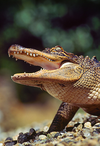 REP 07 RK0005 54 © Kimball Stock Head Shot Of American Alligator