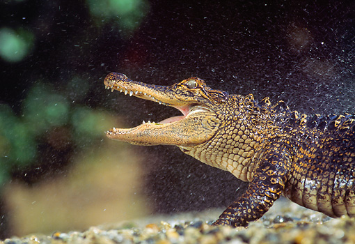 REP 07 RK0005 92 © Kimball Stock Head Shot Of American Alligator