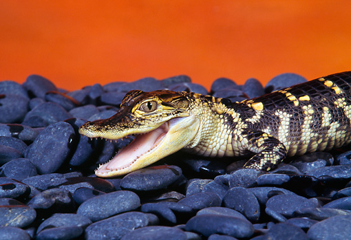 REP 07 RK0012 01 © Kimball Stock Baby American Alligator