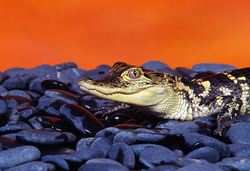 REP 07 RK0012 03 © Kimball Stock Baby American Alligator