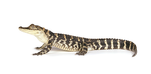 REP 07 RK0015 01 © Kimball Stock Profile Of American Alligator On White Seamless