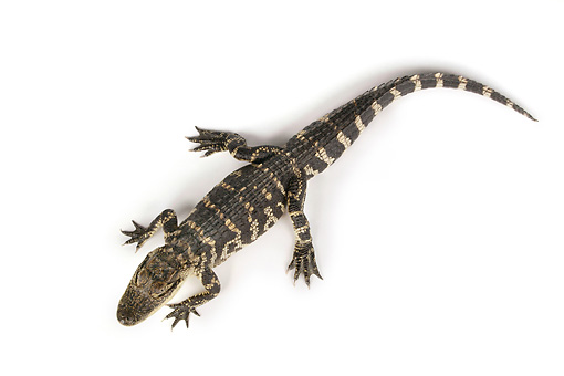 REP 07 RK0016 01 © Kimball Stock Overhead Shot Of American Alligator On White Seamless