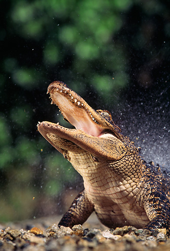 REP 07 RK0005 35 © Kimball Stock Head Shot Of American Alligator