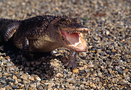 REP 07 RK0008 58 © Kimball Stock Baby American Alligator   On Pebbles Mouth Open  (Alligator Mississippienis)