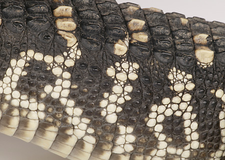 REP 07 RK0013 01 © Kimball Stock American Alligator Close Up Of Skin