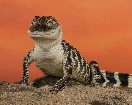 REP 07 RK0018 01 © Kimball Stock American Alligator Facing Camera On Sand Orange Background