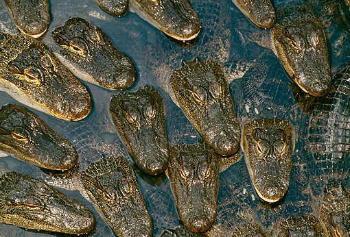 REP 07 TK0001 01 © Kimball Stock Overhead Shot Of American Alligators Laying In Water