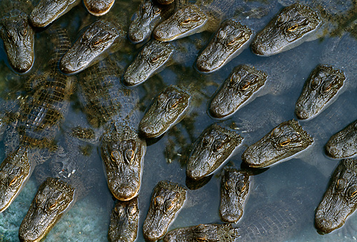 REP 07 TK0002 01 © Kimball Stock Overhead Shot Of American Alligators Laying In Water