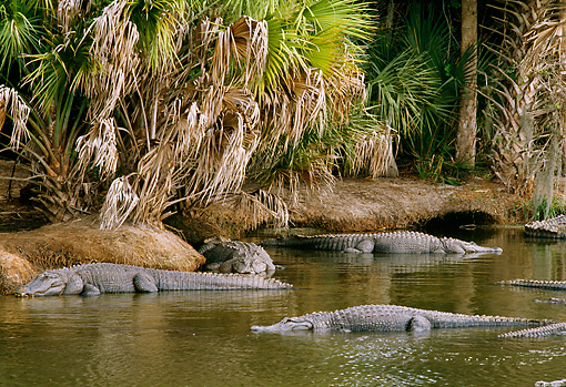 REP 07 TL0001 01 © Kimball Stock American  Alligators Resting Near Shore Palm Trees