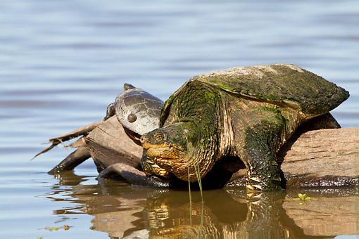 REP 08 DA0001 01 © Kimball Stock Snapping Turtle Sitting On Log In Wetlands Illinois