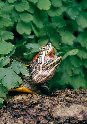 REP 08 GL0001 01 © Kimball Stock Coastal Plain Cooter Poking Head Out Of Wet Leaves