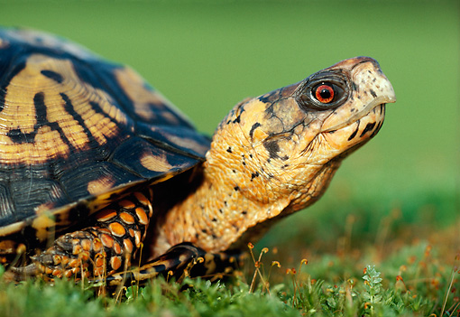 REP 08 GR0003 01 © Kimball Stock Close-Up Of Eastern Box Turtle Sitting On Grass